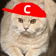 カープ/広島東洋カープ/ブリティッシュショートヘア/猫派/LIMIAペット同好会/にゃんこ同好会 カープ猫ですにゃ。 (下手でごめんなさい…