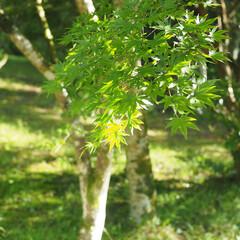 緑が好き/新緑/とらや工房/はじめてフォト投稿 とらや工房さんのお庭。 新緑が眩しく美し…