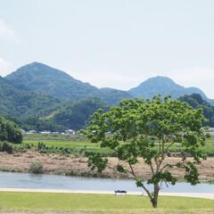 伊豆/狩野川/大きな木/はじめてフォト投稿 狩野川沿いの大きな木。 その木の下でお昼…
