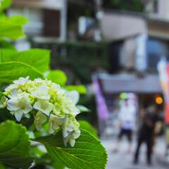 江ノ島/花/風景写真/風景/スナップ/スナップ写真/... 江ノ島の帰り道で撮影しました。 雰囲気の…