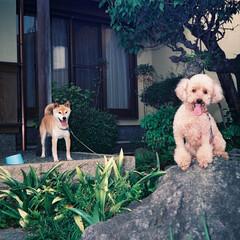 わんこ/ワンコ/愛犬/プードル/しば犬/愛/... ロイちゃんの初めてのボーイフレンド ラッ…
