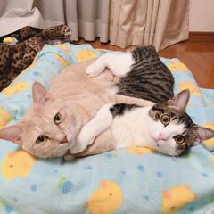 うちの子ベストショット/保護猫/キジシロ/クリームタビー/LIMIA ぴったりくっついてる仲良しさん💗
