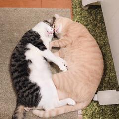 うちの子ベストショット/保護猫/キジシロ/クリームタビー 頭をくっつけながら寝ていました。 お互い…