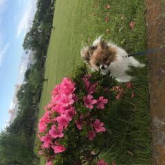 さんぽ/犬/ポメラニアン/花/おでかけワンショット 公園にお散歩に行った際の写真です(1枚目)