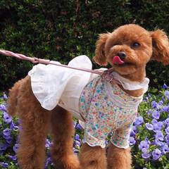 うちの子ベストショット/犬/トイプードル/子犬/おさんぽ のんびり綺麗なお花を観るのもいいけれど、…