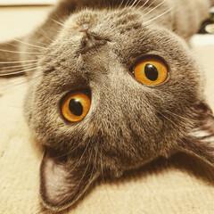 うちの子ベストショット/猫/ブリティッシュショートヘア/モコモコ/写真/ねこ/... 今年からわが家の仲間入りになった小夏。 …