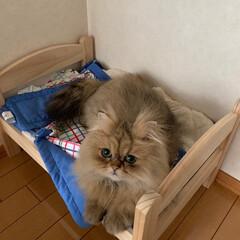 猫/IKEA/ねこ/リラックス/ペルシャ/チンチラゴールデン/... 最近お兄さんになったきのこ、1歳です。 …