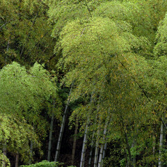 竹/竹林/山/自然/緑/梅雨/... 山の竹林。梅雨の時期はしっとりとして、山…
