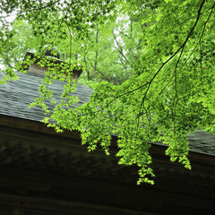緑/もみじ/寺/境内/新緑/コントラスト/... 岩手県・中尊寺の境内です。雨模様の日でし…
