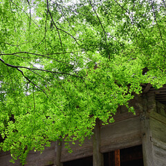 緑/新緑/自然/植物/もみじ/梅雨/... 岩手・中尊寺境内にて。雨模様でしたが、緑…