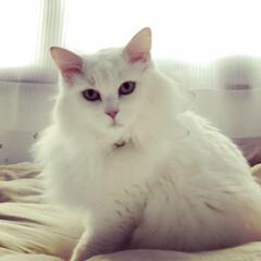 保護猫/白猫/長毛猫/ナックリング/猫/うちの子ベストショット 我が家に保護した8歳の女の子。 とっても…
