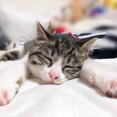 猫/キャット/寝る/うつ伏せ/うちの子ベストショット おやすみなさい