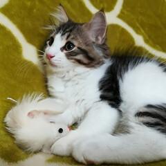 猫好きさん/子猫販売/子猫/子ねこ/飼い主募集中/オーナー様募集中/... 【飼い主さま募集中】 ノルウェージャンフ…(4枚目)