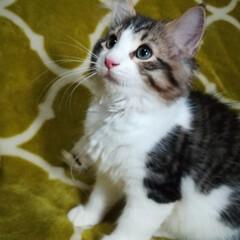 猫好きさん/子猫販売/子猫/子ねこ/飼い主募集中/オーナー様募集中/... 【飼い主さま募集中】 ノルウェージャンフ…(3枚目)