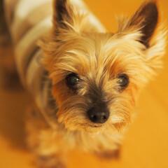 ヨークシャーテリア/愛犬/かわいい/家族/可愛い/甘えん坊/... 『おやつちょうだい』