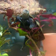 亀/イシガメ/ペット/可愛い/寝顔/うちの子ベストショット お家に来てから約半年が経ち、最近は警戒心…