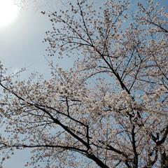 空/お花見/ウォーキング/おでかけ/散歩/桜 晴天が続き、桜が咲き始めました🌸 (1枚目)