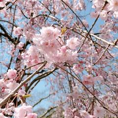 花/花見/おでかけ/外出/運動/ウォーキング/... 今日もウォーキング♪ 桜のグラデーション…(2枚目)