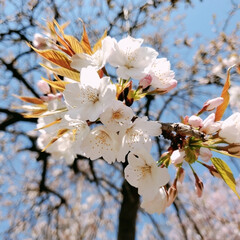 花/花見/おでかけ/外出/運動/ウォーキング/... 今日もウォーキング♪ 桜のグラデーション…(6枚目)