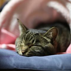 うちの子ベストショット/猫派 お気に入りの座布団の上でひと眠り。 気持…