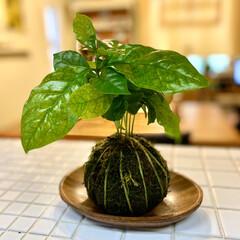 コーヒーの木/コケ玉/苔玉/キッチン/観葉植物 珈琲大好き人間です。ホームセンターでコー…(1枚目)