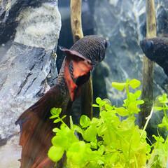 ベタ水槽/ベタ/水槽のある暮らし/水草水槽/ヌマエビ/エビ/... ヒレぼろぼろだけど まだ元気な2歳半ぐら…(1枚目)