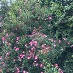 つるバラ チラホラ咲いてきたつるバラです。