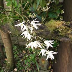 グリーン 野生ランセッコクの花です。