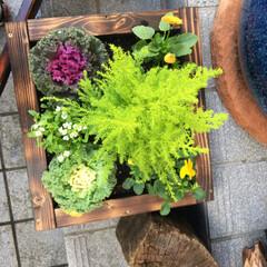 リミアな暮らし 季節の草花の寄せ植え正月バージョンで、葉…(3枚目)