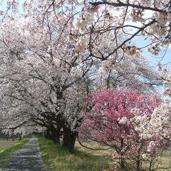 わたしのGW 栃木市宮町の桜堤の桜の一本です。 青空と…