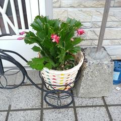 ガーデニング/家庭菜園/ホームセンター なんとなく昨日買い物行ったらついでにホー…(1枚目)