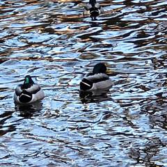 鳥/鴨/池/地元のオススメ 近所の公園の風景です。  揺れる水面に …
