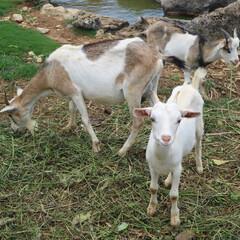 ヤギ/公園/沖縄/カメラ目線/動物/おでかけワンショット 公園でヤギに遭遇。 カメラ目線頂きました!