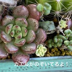 多肉植物/多肉/多肉植物寄せ植え/カエル/サンセベリア/ハオルチア/... いい季節になりましたねぇ😃  とってもい…