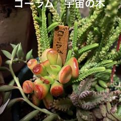 カエル/ラウリンゼ/多肉/多肉植物 多肉の季節で みんな可愛く変化中〜💕  …