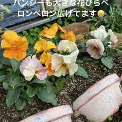 花壇/猫/リメ鉢/リメイク鉢 もうすぐ到着のリエール苗のため 塗りまく…(7枚目)