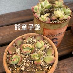 サボテン寄せ植え/サボテン/多肉植物寄せ植え/多肉/多肉植物 少し前に シーグラス鉢に 100均サボテ…(2枚目)