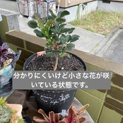 ガーデン/煙の木/スモークツリー/多肉植物寄せ植え/多肉植物のある暮らし/多肉/... 台風が過ぎ少し気温が下がり秋を感じるよう…(3枚目)