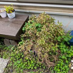 シーグラス/多肉植物/多肉植物寄せ植え/花壇作り/花壇DIY 今日は 小さな花壇作り! 先ずは ser…(5枚目)