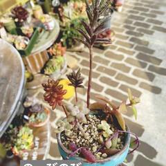 リメ鉢/リメイク鉢/多肉植物寄せ植え/多肉/ダイソー/多肉植物 第三弾❗️お世話になってる美容室の鉢で作…(5枚目)