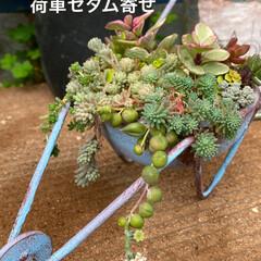 花うらら/ガーデン/七福神/セダム/エケベリア/多肉/... 雨に濡れて どの子もプリプリ💖(5枚目)
