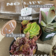 ガーデン/ミニチュア/薔薇/多肉植物 今日は 朝から多肉狩〜〜❤️  昨夜、蘭…(2枚目)