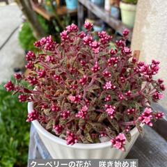 多肉植物 今日は雨ですが 朝から セダムの花をカッ…