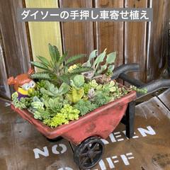 ガーデン/煙の木/スモークツリー/多肉植物寄せ植え/多肉植物のある暮らし/多肉/... 台風が過ぎ少し気温が下がり秋を感じるよう…(5枚目)