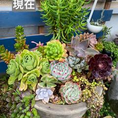 ガーデン/火祭り/ベルム/チョコボール/桃太郎/多肉植物 こちらは 大雨☔️ですよ。  雨ざらしの…