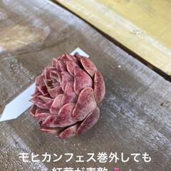 ガーデン/ミニチュア/薔薇/多肉植物 今日は 朝から多肉狩〜〜❤️  昨夜、蘭…(5枚目)