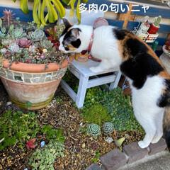 猫/ガーデン/多肉植物のある暮らし/多肉植物/多肉 先週は お肉園さんへ、今週はハンドメイド…