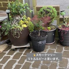 ガーデン/煙の木/スモークツリー/多肉植物寄せ植え/多肉植物のある暮らし/多肉/... 台風が過ぎ少し気温が下がり秋を感じるよう…(1枚目)