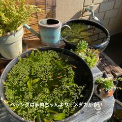 ベランダガーデン/ビオトープ/多肉植物/メダカ/スイレン鉢 うちのベランダ 多肉植物も観葉植物も た…
