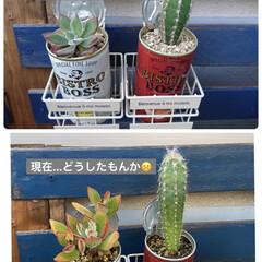 花壇/サボテン/乙女心/ファイアークラッカー/多肉植物寄せ植え/多肉植物/... 梅雨に調子を崩してたファイアクラッカーで…(4枚目)